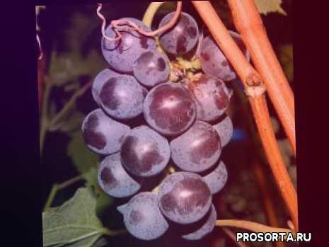 универсальные сорта винограда, технические сорта винограда, купить саженцы винограда фиолетовый ранний в контейнерах, черенки фиолетовый ранний купить, саженцы винограда фиолетовый ранний, купить саженцы винограда фиолетовый ранний, виноград фиолетовый ранний, виноград фиолетовый ранний