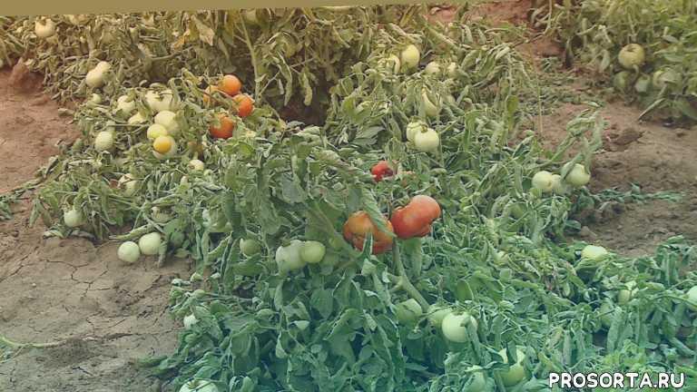 Селекционеры возрождают семеноводство волгоградских помидоров