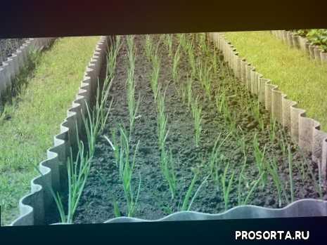 как правильно посадить лук, как подготовить лук севок к посадке весной, посадка лука весной в открытый грунт, посадка лука севка, посадка лука севка в открытый грунт весной, посадка лука севка весной, когда сажать лук весной, посадка лука весной