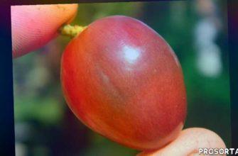 купить саженцы винограда дюжина в контейнерах, черенки винограда дюжина купить, саженцы винограда дюжина, купить саженцы винограда дюжина, виноград дюжина