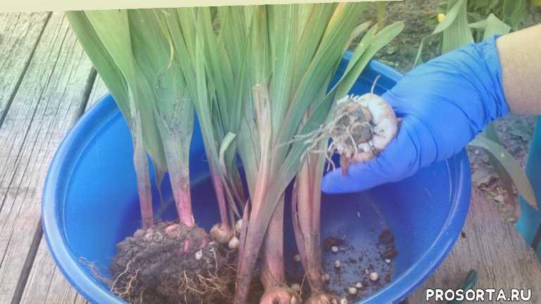как сажать гладиолусы, гладиолусы посадка, как выращивать гладиолусы, хранение гладиолусов, цветы, гладиолусы цветы, уход за гладиолусами, гладиолусы
