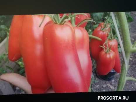 #урожайныетоматы#сортатоматов#перцевидныетоматы