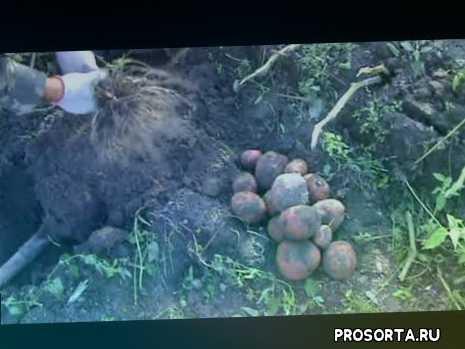 potato biotekhnology, биотехнология картофеля, оздоровленный картофель, урожай картофеля, aladin, алладин, среднепоздний сорт, сорт картофеля алладин