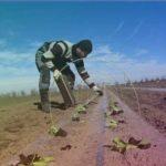 Высадка рассады ранней капусты в грунт. 6.03.19