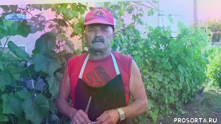 оидиум, милдью, защита винограда от болезней, виноград