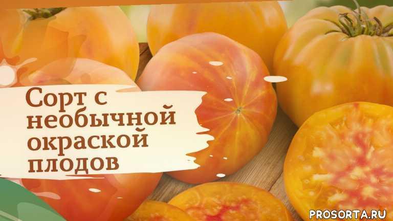 помидоры, дача, сады россии, семена, томаты, сад, огород