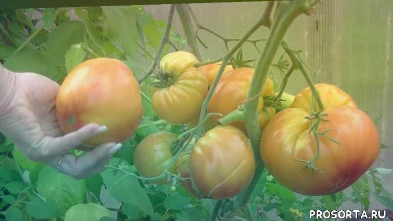 технология выращивания томатов, дважды отец димитрий, лучший сорт помидор для теплицы, выращивание томатов в теплице, капельный полив, выращивание томатов, лучшие сорта томатов, самые урожайные помидоры