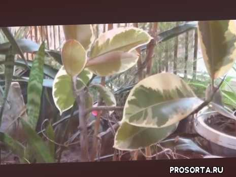 уход фикусы, пестролистный фикус, семейство тутовых, цветоводство, пересадка фикус, полив фикус, каучуконосный, эластика