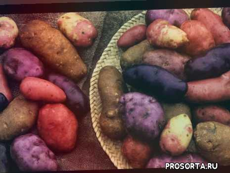 лучшие ранние и урожайные сорта картофеля, молодой картофель, теплица, томаты, инкубация, огород, сорт картофеля, ранний картофель