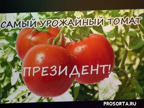 высокорослый томат, индетерминантный, самый урожайный томат, президент., огурцов., сорта, подкормка., помидоры.