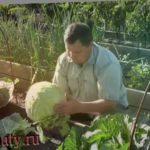 Выращивание ранней капусты