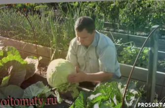 огород, дача, ранняя капуста, капуста, выращивание ранней капусты