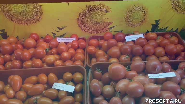 завалят урожаем, самые неприхотливые, неприхотливые томаты, крупные томаты, мясистый томат, сладкие томаты, самый вкусный, дегустировать томаты