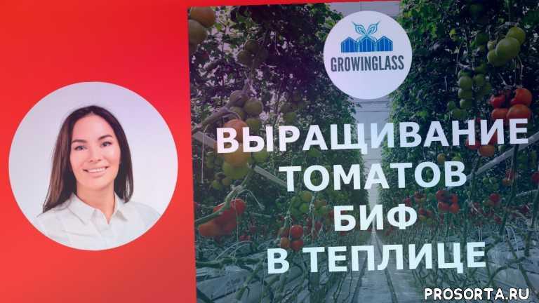 грунт, защищенный, закрытый, теплица, томат, растений, формирование, формировка
