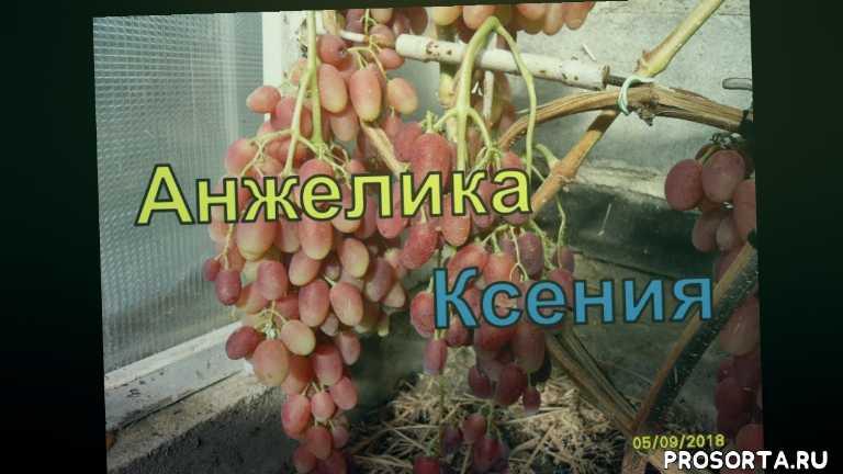 winogrona bialorusi, grapes belarus, как вырастить виноград в беларуси, красивая гроздь винограда, северный виноград, все о винограде, описание сорта винограда анжелика - ксения, виноградарство беларуси