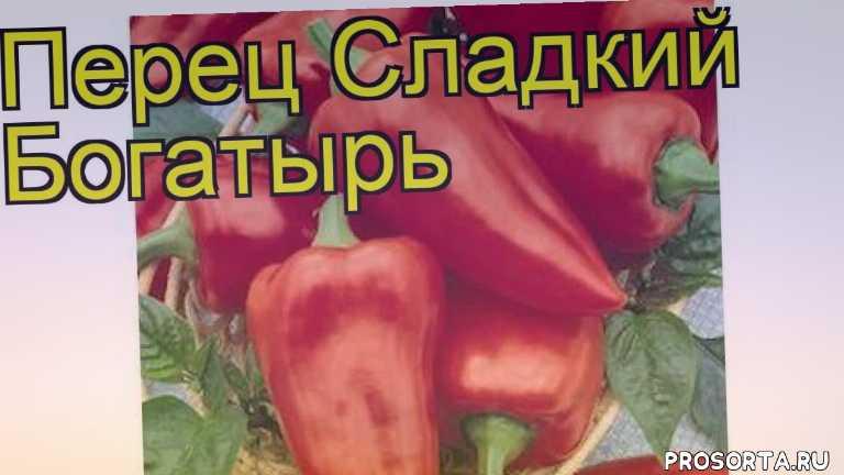 перец сладкий богатырь посадка и уход, перец сладкий богатырь уход, перец сладкий богатырь посадка, перец сладкий богатырь отзывы, где купить саженцы семена перец сладкий богатырь, купить саженцы семена перца богатырь, саженцы семена перец сладкий богатырь, видео перец сладкий богатырь
