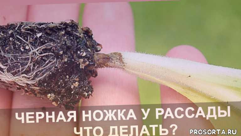 народные методы, черная ножка как бороться, выращиваем рассаду правильно, дача, новый способ, посадка и уход, черная ножка у рассады, domavedus