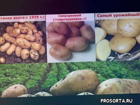 урожайная картошка, семенной картофель, базакот, картошка удача, картофель удача, жуковский ранний, адретта, картошка адретта