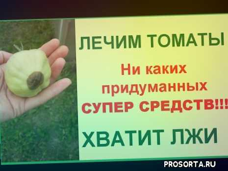 фитофтора помидор, защита помидор, заболевание помидор, вершинная гниль помидор, болезнь томат, болезнь помидор, лечение помидор, гниль помидор
