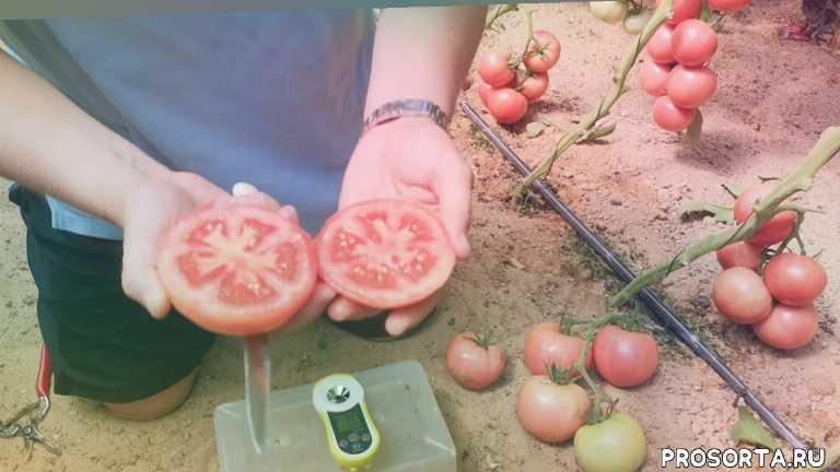 фермер, селекция, гибрид, растения, рассада, дача, огород, урожай