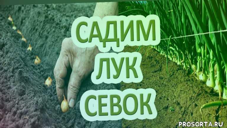 лук осенью, сажаем лук на зиму, сажать огород, огород выращивание, лук на огороде, лук крупный, лук репчатый выращивание, посадка лука на репку