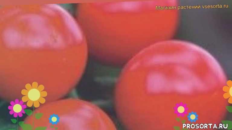 томат обыкновенный бычий глаз уход, томат обыкновенный бычий глаз посадка, томат обыкновенный бычий глаз отзывы, где купить семена томат обыкновенный бычий глаз, купить семена томата бычий глаз, семена томат обыкновенный бычий глаз, видео томат обыкновенный бычий глаз, томат обыкновенный бычий глаз описание характеристик