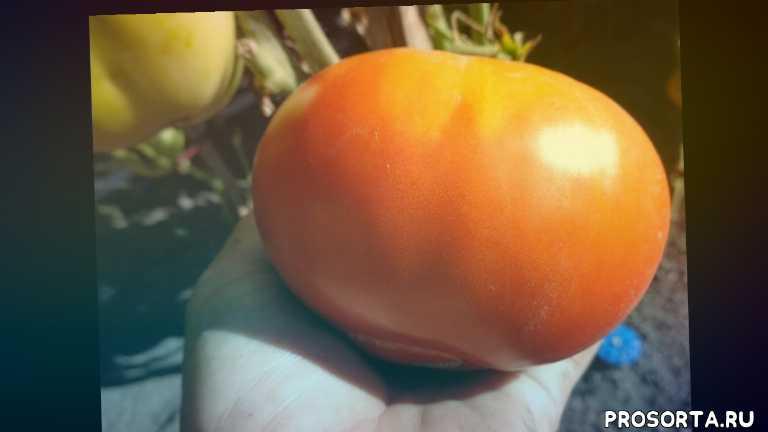 ольга чернова, в открытом грунте, томат вечный зов, видеообзор, томаты, сад огород
