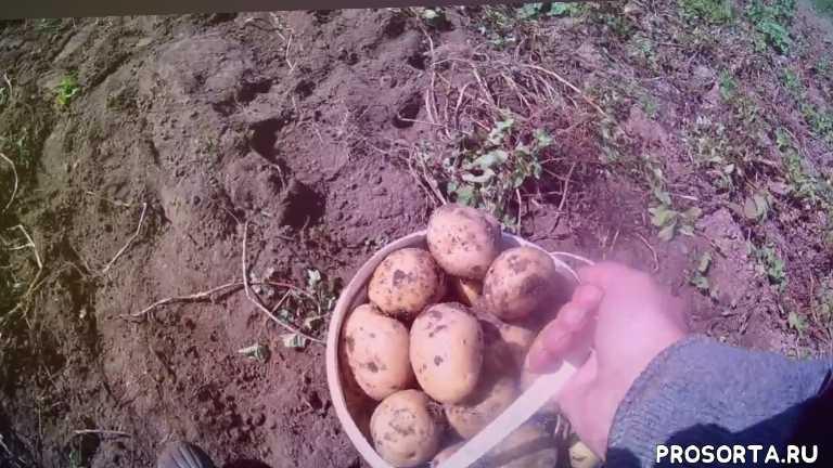 огород, осень, сибирь, урожай, картофель