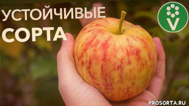 юлия кондратенок, procvetok, процветок, сорт груши отзывы, груша описание сорта, груша сорта, груша, описание сортов яблонь