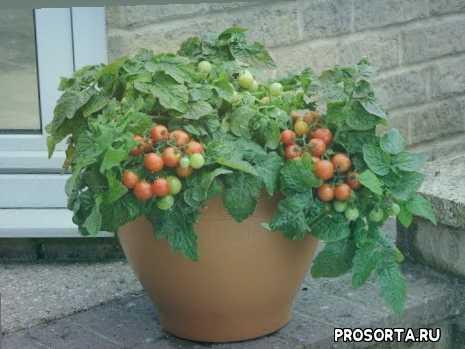 как поливать помидоры на подоконнике, полив помидор на подоконнике, комнатные помидоры, помидор балконный, томаты домашние выращивание, рассада томатов в домашних условиях, рассада томатов в домашних, томаты в домашних условиях