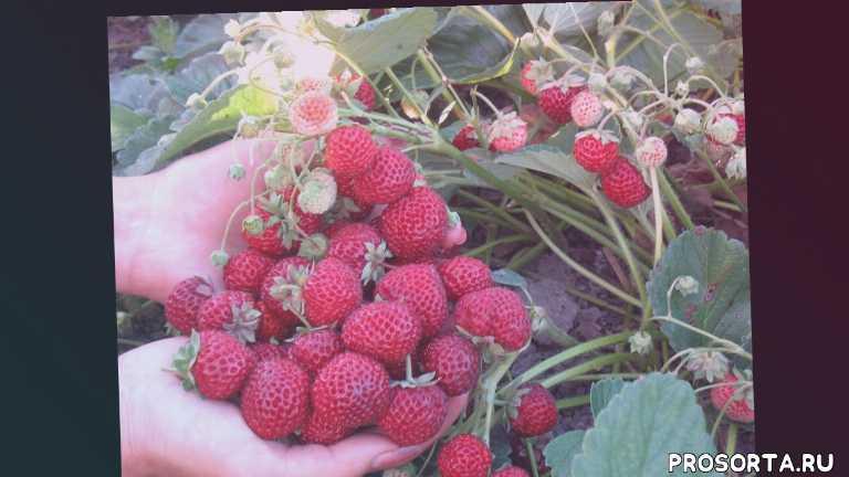 самая дорогая ягода на рынке, ягода малина, сорт мице шиндлер, сорт веденсвил -7, клубника-малина, самая ароматная и сладкая клубника, самая сладкая клубника, самая сладкая ягода