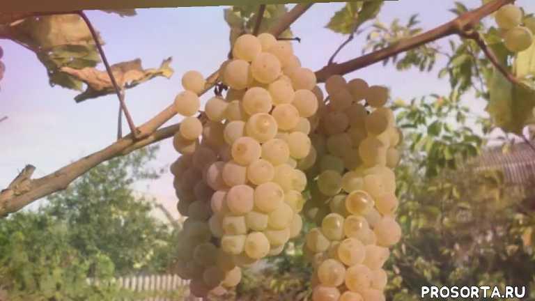 виноград. устойчивый виноград. нкукрывной виноград.