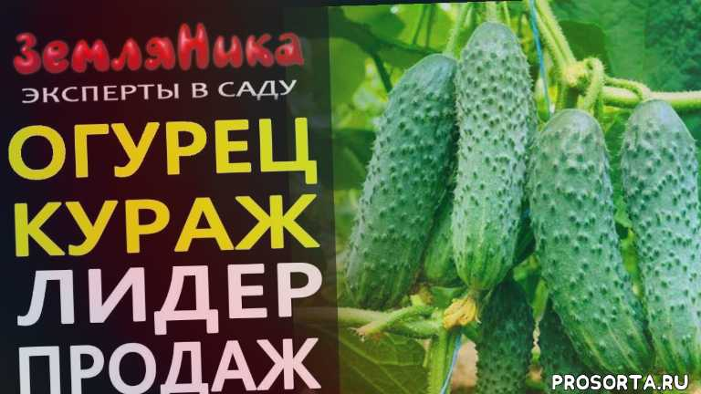 скороспелый сорт, партенокарпические огурцы, интернет магазин семян, seedspost, seedspost.ru, купить семена огурцов, купить семена, эксперты в саду