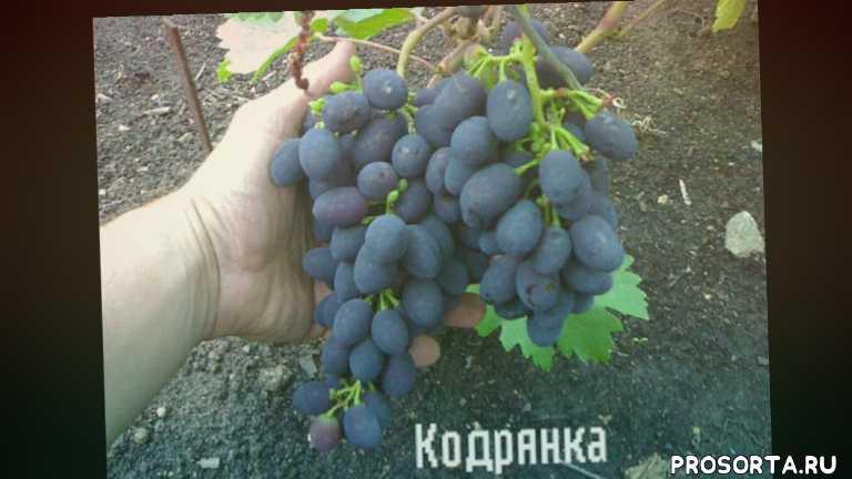 кадрянка, тасон, саженцы посадка полив обрезка прививка технология сорта виноград виноградник кишмиш лора
