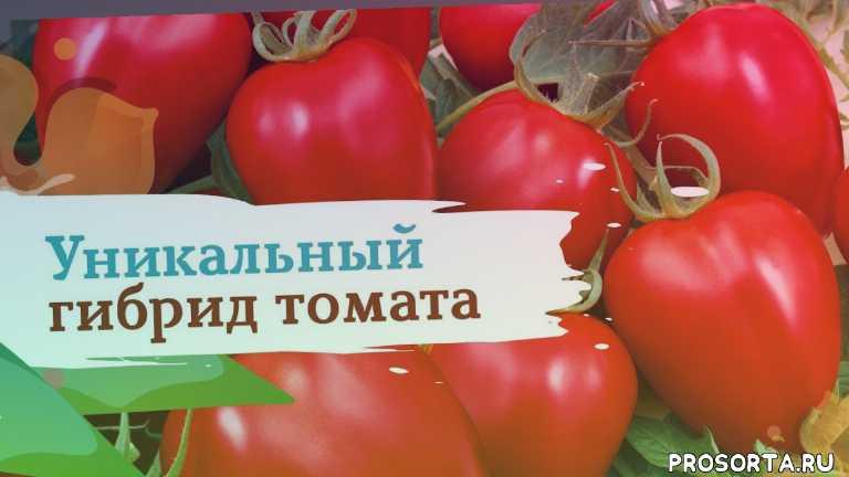 томат бонапарт, томаты, помидоры, семена, дача, огород, сад, сады россии