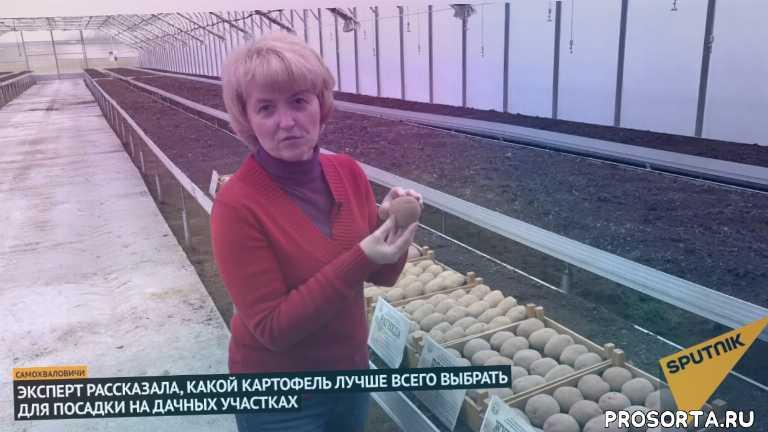белорусский картофель, картофель, беларусь, снг, россия, новости, спутник, sputnik