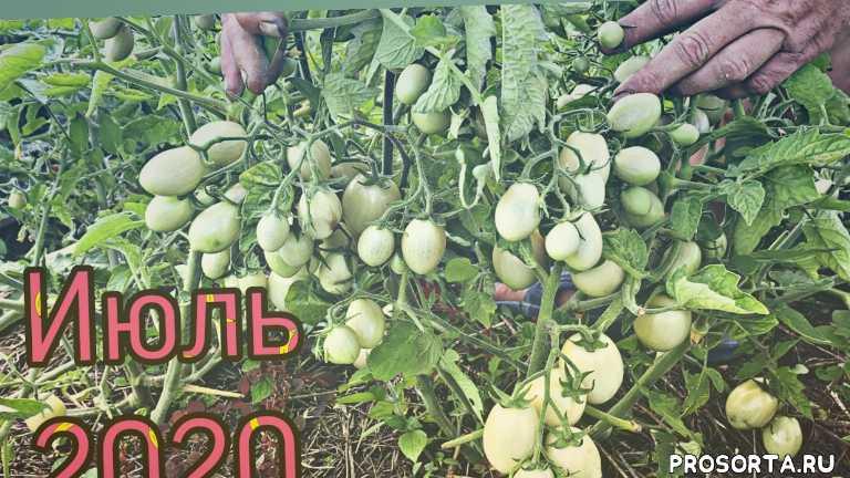 томаты открытого грунта. как спасти томаты от фитовторы.урожайные сорта томатов.