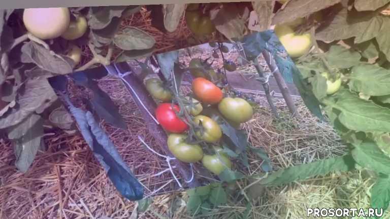 рекомендую томаты на2020 год, какие томаты надо посадить, супер томаты, таких томатов ещё не пробовали, самые сладкие томаты, эти томаты буду сажат, лучшие томаты