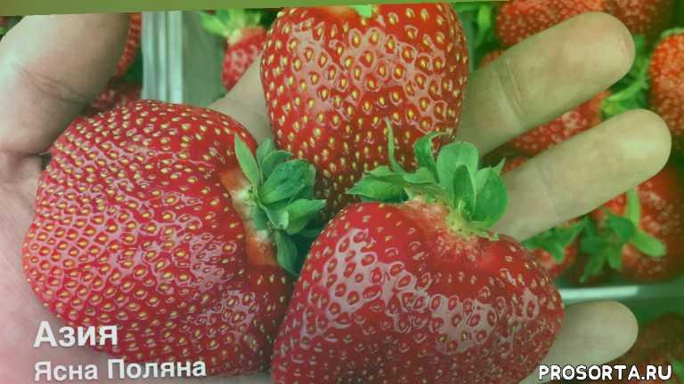 как, strawberry, кабрило, мальга, плёнка для клубники, балаган, теплица для клубники, удобрение для клубники