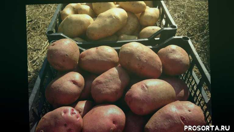 выращивание и хранение картофеля, можно ли хранить картошку в мешках, правельное хранение картофеля в погребе, как хранить картошку чтобы не прорастала, как хранить картошку зимой в гараже, как хранить картошку зимой, как хранить картофель после уборки урожая, хранение картофеля зимой