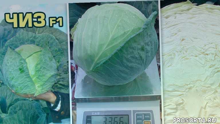 гибрид капуста, стрессоустойчивость, белокочанная капуста, бактериоз, фузариоз, семена клоз, clause seeds, hm-clause