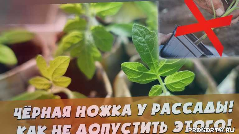 болезни томатов, болезнь черная ножка, огурцы, капуста, народные средства, черная ножка у капусты, как лечить рассаду, фитоспорин