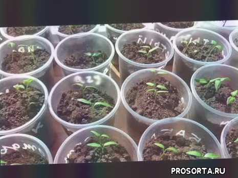 повреждены семядольные листики