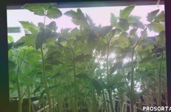 сад огород рассада томатов желтеют листья
