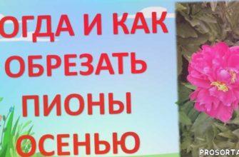 пионы в саду, цветы пионы, как выращивать пионы, выращивание пионов, пион травянистый, цветы в саду, пионы осенью, уход за пионами