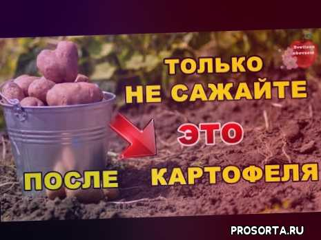 сад, огород, что нельзя сажать после картофеля, чоткий пацато можно сажать после картофеля, картошка, какой сидерат посеять, посадка сидератов, лучший сидерат осенью