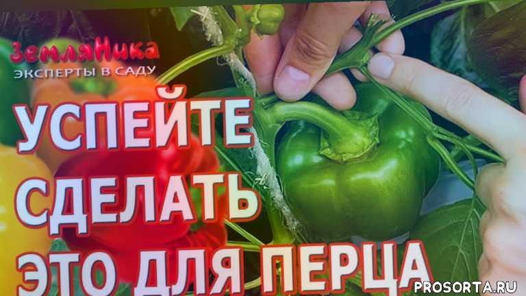 сад, эксперты в саду, земляника эксперты в саду, канал земляника, земляника, пасынкование, болгарский перец, сладкий перец