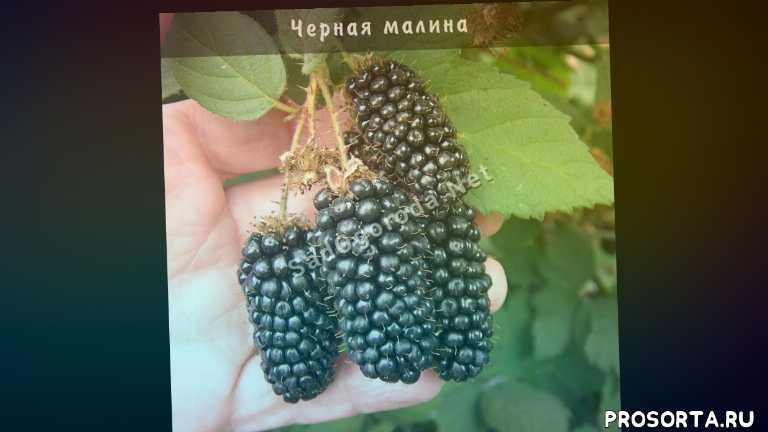 малина черная кумберленд уход, куст черной малины, черная малина купить, черная малина полезные, посадка черной малины и уход., посадка черной малины, черная малина, cорт черная малина
