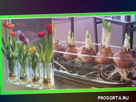 как вырастить тюльпаны к 8 марта, как вырастить тюльпаны в домашних условиях, как вырастить тюльпаны
