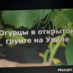Как вырастить огурцы в открытом грунте на Урале?